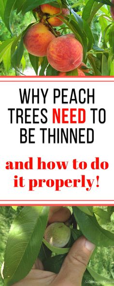 Most people don't know how important it is for peach trees to get thinned soon after fruit sets - this article explains why it's important, and how to do it correctly.