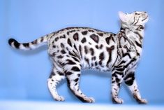 This is a white Bengal cat, one of the rarest cat breeds. This is a white Bengal cat one of the rarest cat breeds. Bengal Silver, Marble Bengal Cat, White Bengal Cat, Bengal Cats, Rare Cat Breeds, Rare Cats, Cats And Kittens, Cats 101, Beautiful Cat Breeds