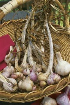 Video - Planting Garlic. Watch here http://www.finegardening.com/how-to/videos/how-to-plant-garlic.aspx