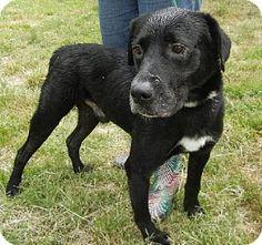 03/21/16 - Anniston, AL - Labrador Retriever Mix. Meet Papi, a dog for adoption. http://www.adoptapet.com/pet/11725519-anniston-alabama-labrador-retriever-mix