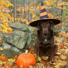 Halloween pooch doing her witch impersonation.