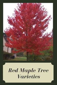 Everything about Japanese maples brings enchantment and delight, from the lacy leaf shapes to the vast pallet of foliage hues. There seem to be as many cultivars as there are stars in the sky, with poetic names that seduce youRead this artice Red Maple Tree, Red Tree, Maple Tree Varieties, Japanese Red Maple, Garden Shrubs, Star Sky, Leaf Shapes, Trees To Plant, Gardening