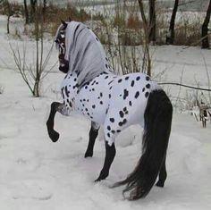 Appaloosa Frisian cross model, I am thinking this is a model horse, right?...beautiful.
