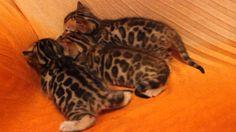 Bengal kittens, Бенгальские котята
