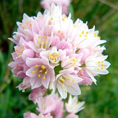 Ornamental Onion Rosy Garlic (Allium roseum)