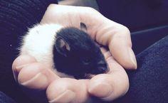 #Volunteers save Vancouver rat from heroin overdose - News1130: News1130 Volunteers save Vancouver rat from heroin overdose News1130…