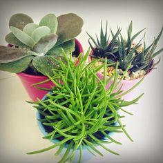 Mhilka Diniz #jardinagem #jardim #DIY #succulents #cacti #cactus #suculentas #colors