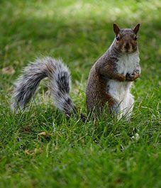 Natural Methods For Deterring Chipmunks Squirrels Essential Oils Pinterest Natural