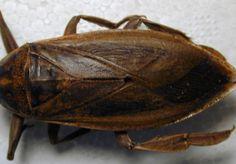 Hemiptera - kissing bugs