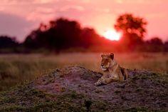 Lioness at Sunset Photo by Marja Schwartz