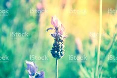 Lavender Flowers in Nature. Lavender Flowers, Abstract Photos, Flower Photos, Image Now, Natural Health, Royalty Free Stock Photos, Nature, Plants, Beautiful