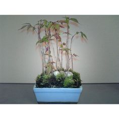 MAME BON : very small size plants