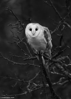 White Owl photography nature white bird owl wildlife