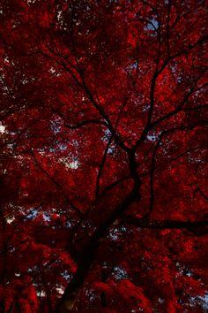 Scarlet Autumn Trees