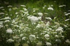 Theresa Johnson Photography Photograph - Queen Annes Lace by Theresa Johnson