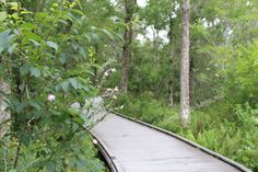 """Budding branches along a raised boardwalk trail in Brooker Creek Preserve in Tarpon Springs, Florida.  Available in 4x6"""" to 20x30""""."""