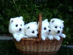 The cutest puppy there is- Japanese Spitz. :)