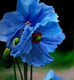 31 best himalayan blue poppies images on pinterest poppies blue tibetan blue poppy mightylinksfo