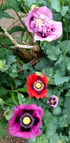 Poppies  by  Darren Ellerton - iPhone