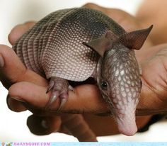 Armadillos are mammals with a leathery armor shell. The smallest species, the pink fairy armadillo, is roughly chipmunk-sized at 3.0 oz  4.3 in total length. The largest species, the giant armadillo, can be the size of a small pig, weigh up to 130 lb and are over 39 in long.They are prolific diggers. Many species use their sharp claws to dig for food, such as grubs, and to dig dens.  baby