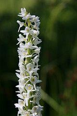 Bog orchid in Glacier National Park