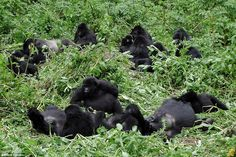Nature lovers can venture to Rwanda where they'll hole up at the secluded Virunga lodge in the National Park des Volcans. Honeymooners can spend their days taking on a physically challenging trek into the surrounding jungle in search of families of gorillas (pictured)