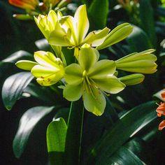 Clivia miniata, Koike 3503 x Koike 3508.  Colorado Clivia's Plant No. 2295A.