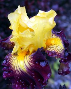 Iris - just bought one very similar but it's blue instead of purple.  Very pretty!
