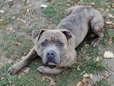 TO BE DESTROYED 11/2113 Manhattan Center -P DIGI #A0984577 Male br brindle pit bull mix 2 YRS STRAY 11/10/13 He adores every kind of snuggling. He's easy to handle, walks calmly on leash and when we meet other dogs he's excited to see them but in a friendly way. Did well on behavior exam except food guarding-common w/ strays, retrainable-NO aggression. Whether it's playtime or cuddle time, Digi doesn't disappoint and he can't wait to show you just what a good boy he is.