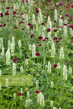 """Edible Agastache """"Alabaster"""" and Knautia macedonia (flowers non-stop from early summer through fall; reseeds but not invasive)"""