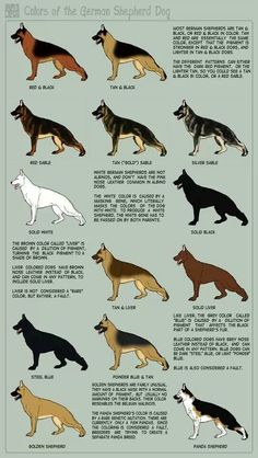 How neat,.. I had no idea how many different color coats the GSD had. Educational: Germanshepherd, German Shepherd Dog, German Sheperd, Gsd Color, German Shepard, German Shephard
