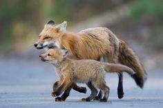 Ils sont magnifiques ces renards.