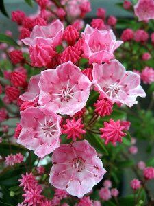 'Tiddlywinks' Dwarf Mountain Laurel - Kalmia - Very Hardy- . A miniature Mountain Laurel with medium pink flowers. Very hardy, zones 5-9. Prefers shade or part-shade. 3' tall, space 3' apart.The Mountain Laurel (Kalmia latifolia), also known as Spoonwood, is a beautiful evergreen shrub that flowers every spring.