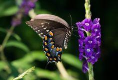 https://flic.kr/p/KgwM2w | Black Swallowtail | A beautiful Black Swallowtail feeds on a beautiful purple flower.
