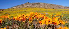 namaqualand flowers 2020 - Google Search Tree Forest, Fishing Villages, Whale Watching, Ultimate Travel, Travel Information, Wild West, West Coast, South Africa, Colours