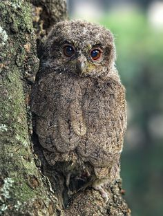 Sunda+scops+owl+-+one+of+the+tiniest+owl,+the+master+of+camouflage++watching+me+taking+photo.