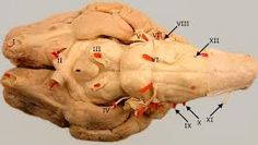 Znalezione obrazy dla zapytania CRANIAL NERVES