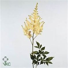 Astilbe Arendsii Diamant is creamy white & gives a beautiful softening effect to flower arrangements & bouquets. 70cm tall and wholesaled in 50 stem wraps.
