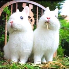 Two white bunnies White Bunnies, White Rabbits, Bunny Rabbits, Baby Bunnies, Funny Bunnies, Cute Bunny, Cute Baby Animals, Animals And Pets, Small Animals