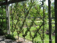 Espalier Trellis: Train shrubs or Fruit Trees to grow one way. Dream Garden, Garden Art, Garden Plants, Espalier Fruit Trees, Building A Trellis, My Secret Garden, Garden Structures, Plantation, Garden Projects
