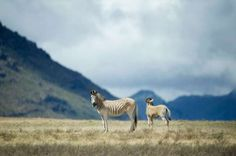 In a spectacular valley less than two hours' drive north of Cape Town, a small herd of animals provides the chance to travel back in time over more than a century. Plains Zebra, Unusual Animals, Back In Time, Mountain Range, North Africa, Cape Town, West Coast, Giraffe, Camel