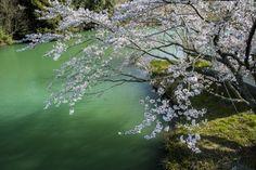 tulipnight:  Spring in Japan byyukihiro ito