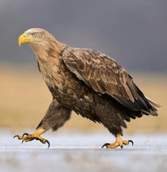 White-tailed Eagle by brianscott_photography Source: beautiful-wildlife on tumbler