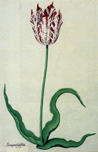 Semper Augustus tulip - the most expensive flower in the world