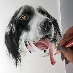 Sorry for not posting in a few days... Been working on some portraits that I can't share yet Here is a new one!! Loving this tongue!! I apologize bad lighting, sun is getting low!! For more progress pics visit my Facebook page Lahar Studios. ❤️ #wip #laharstudios #coloredpencil #spaniel #fabercastell #drawing