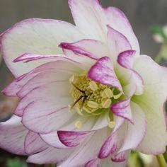 http://shop.unquadratodigiardino.it/ellebori-e-altri-fiori-invernali/753-helleborus-double-picotee-.html