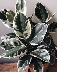 There are more vareigated plants other than Monstera albo, so L&P presents this list of non toxic variegated plants safe for cats and dogs. Cool Plants, Green Plants, Tropical Plants, Nature Plants, Ficus Elastica, House Plants Decor, Plant Decor, Rubber Plant, Decoration Plante