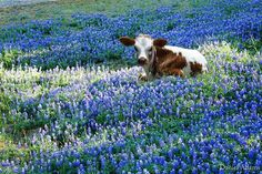 Siesta among the bluebonnets