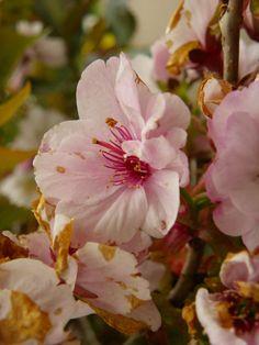 Pilar Palomo posted a photo:  Cherry Tree Flowers
