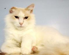 Adopt Copurrnicus, a lovely 7 years  5 months Cat available for adoption at Petango.com.  Copurrnicus is a Domestic Medium Hair / Mix and is available at the City of Eugene in EUGENE, OR